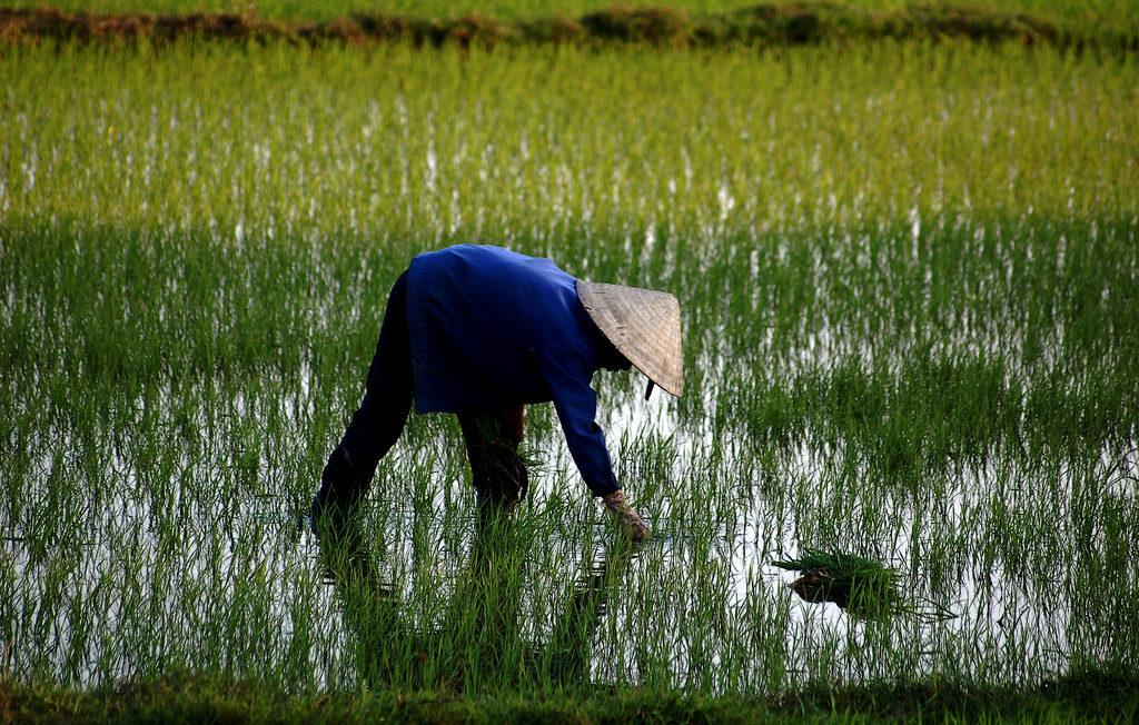 Rizière_vietnam
