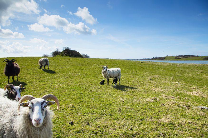Samso-schapen1