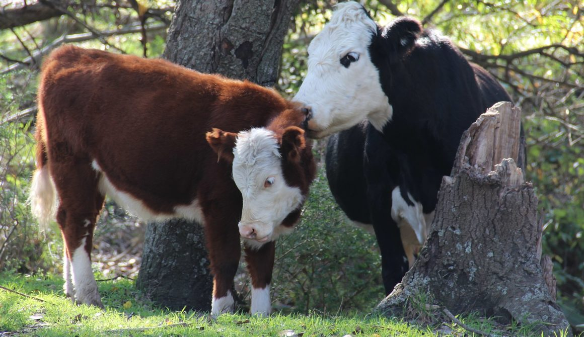Koeien-in-Argentinië