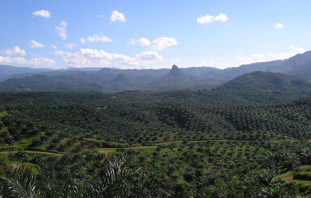 Oil_palm_plantation_in_Cigudeg-05