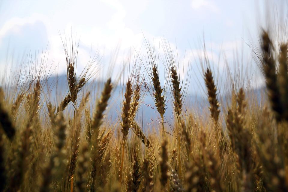 wheat-1149885_960_720