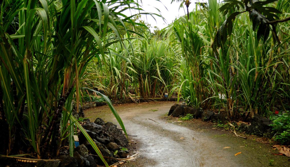 Suikerriet voor bio-ethanol