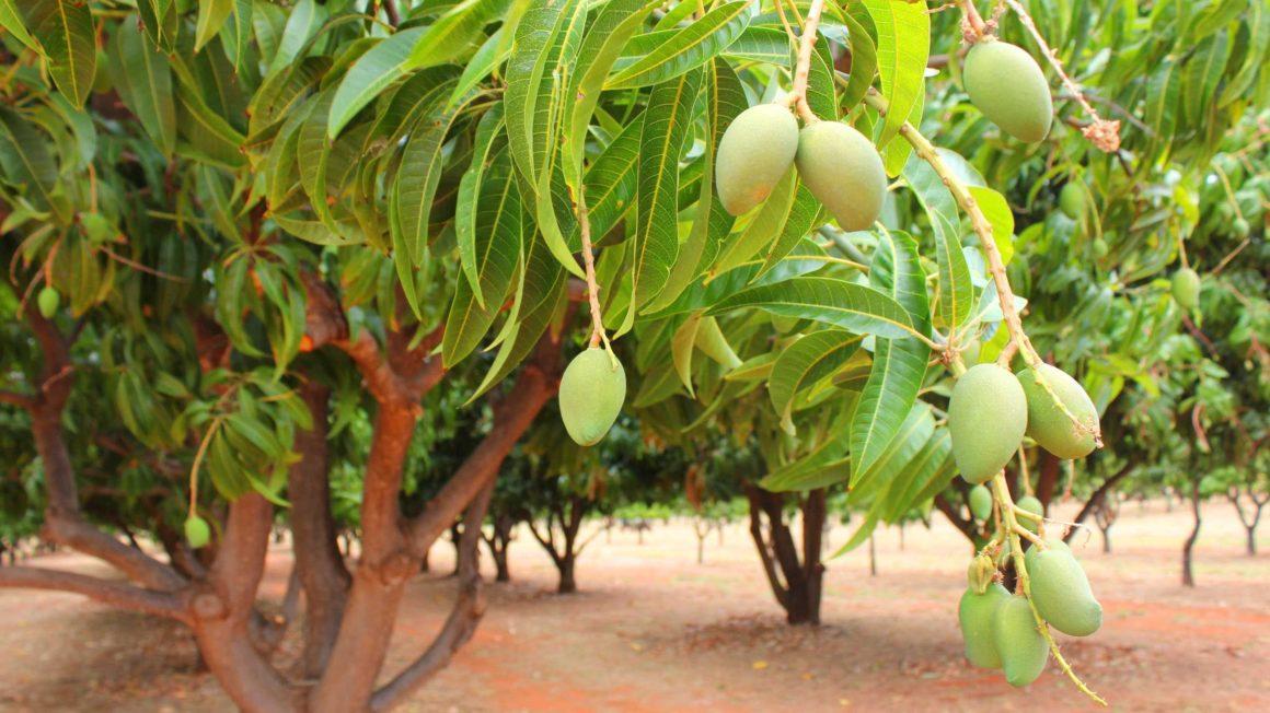 Mango-trees-Nigeria