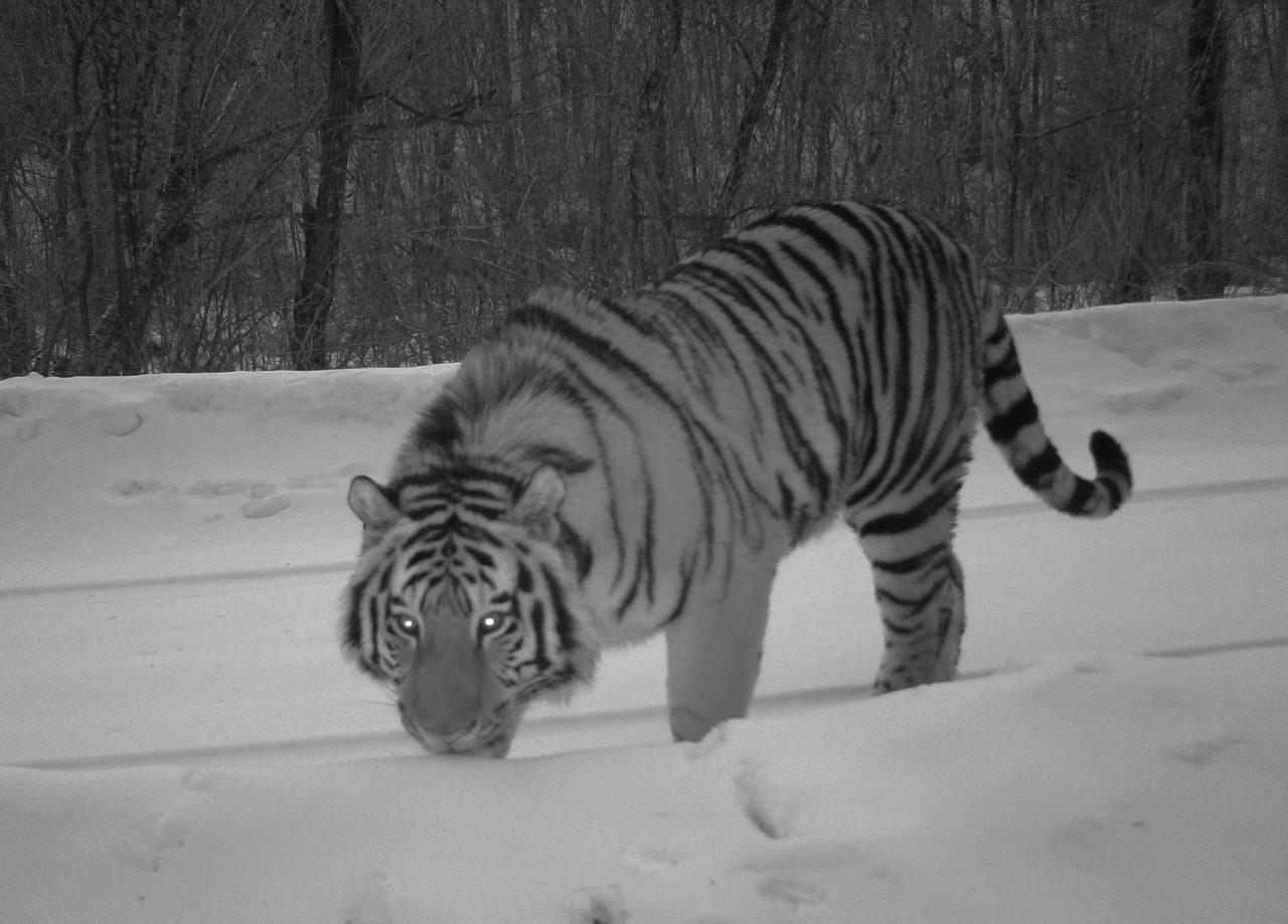northeast tiger leopard national park administration (5)